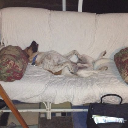 farm dog and lover of Vermont ice cream lies on his back on a white couch